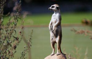 Meerkat Suri