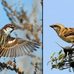 types of sparrows