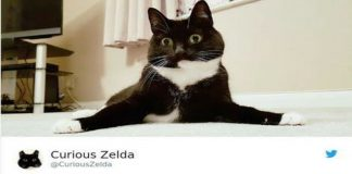 zelda the cat tweets