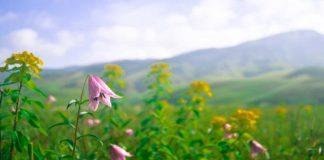 Dzukou Valley flowers